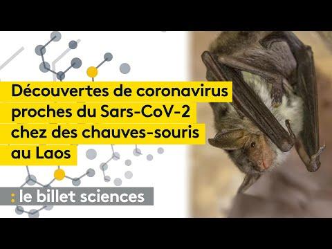 Origines du Covid : on a découvert des coronavirus proches chez des chauves-souris